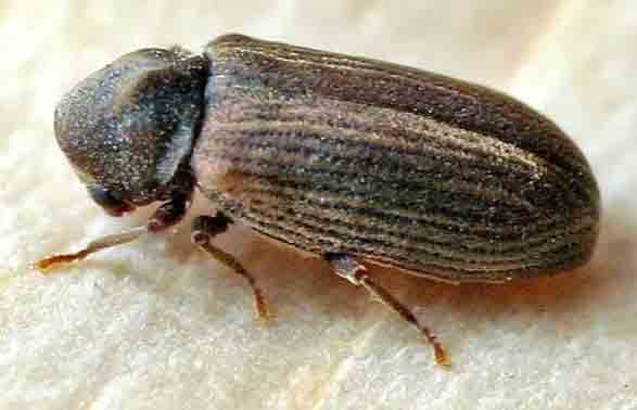 wood worm treatment for common furniture beetle and other woodworm